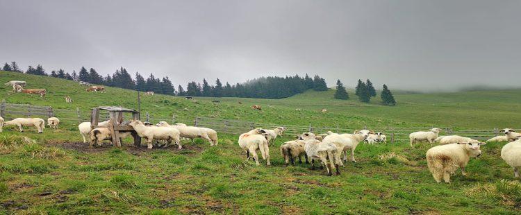 Creșterea animalelor la munte